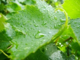 grape leaves with water transpiration