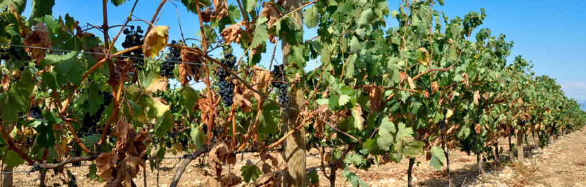Dry-grape-field